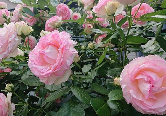 バラのお花